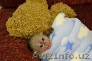 милый   капуцин   обезьяны дети - Изображение #1, Объявление #1183883
